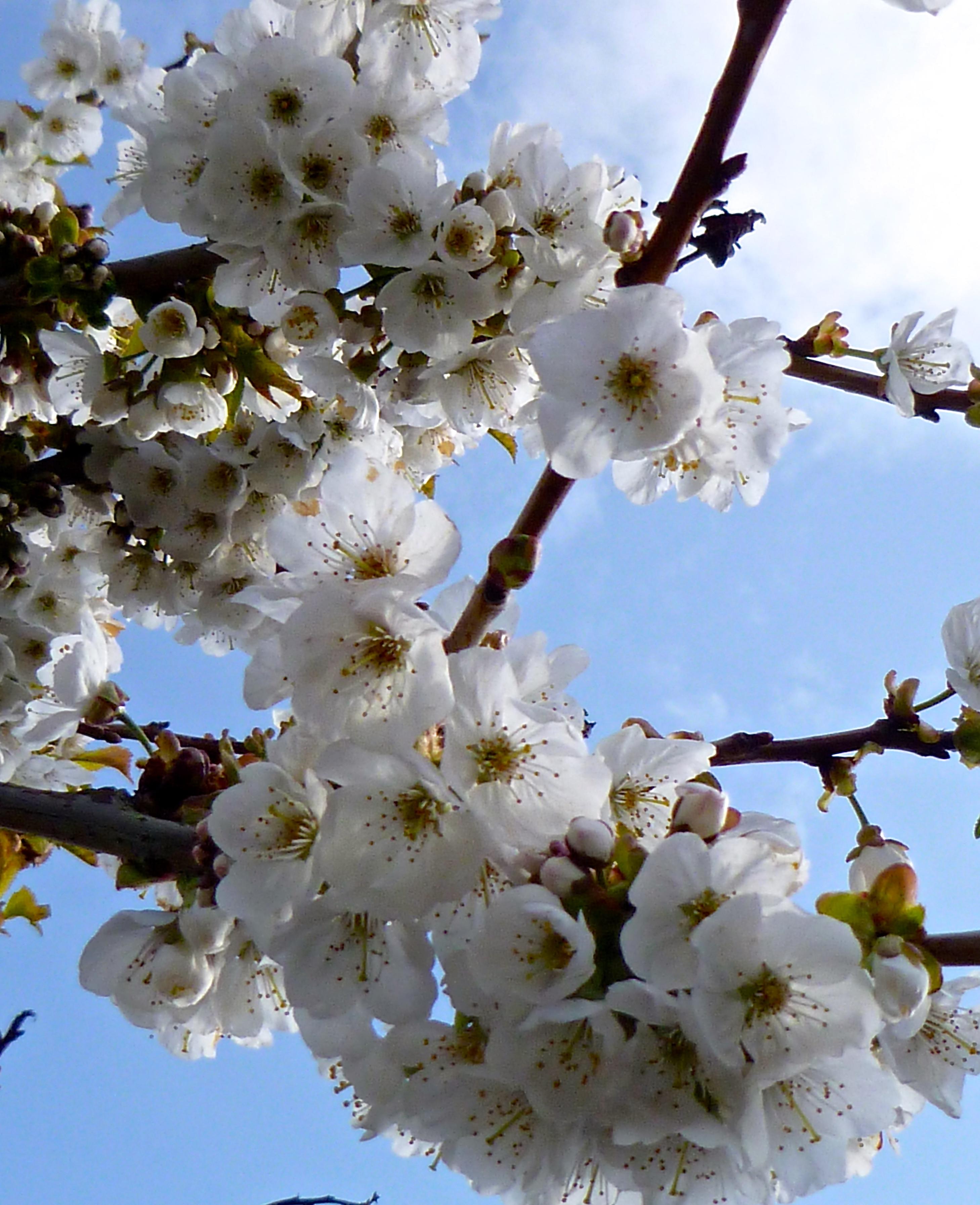 träd vita blommor